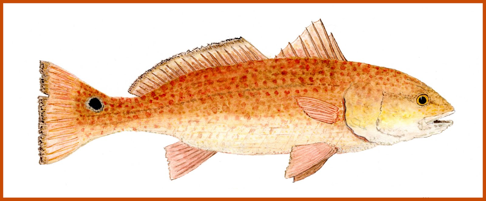 Pics for red drum drawing for Red saltwater fish
